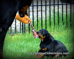 Picture of Doberman mother dog playing tug of war with a unique doberman puppy teaching it to tug and bite photo